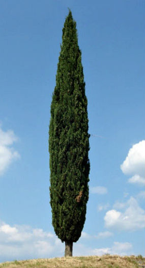 tuscan-cypress